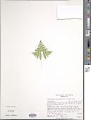 view Gymnocarpium x morseanum Pryer & Windham digital asset number 1