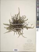 view Asplenium trichomanes L. digital asset number 1