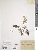 view Cheilanthes nitidula Wall. ex Hook. digital asset number 1
