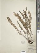 view Notholaena trichomanoides (L.) R. Br. digital asset number 1