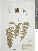 view Cheilanthes lozanii (Maxon) R.M. Tryon & A.F. Tryon digital asset number 1