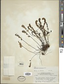 view Myriopteris myriophylla (Desv.) J. Sm. digital asset number 1
