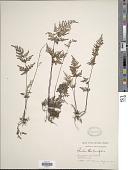 view Cheilanthes tenuifolia (Burm. f.) Sw. digital asset number 1