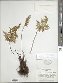 view Gaga marginata (H.B.K.) Fay W. Li & Windham digital asset number 1