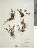 view Myriopteris peninsularis (Maxon) Grusz & Windham digital asset number 1