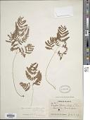 view Gymnocarpium remotepinnatum (Hayata) Ching digital asset number 1