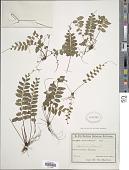 view Asplenium radicans var. cirrhatum (Rich. ex Willd.) Rosenst. digital asset number 1