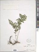 view Cystopteris protrusa (Weath.) Blasdell digital asset number 1