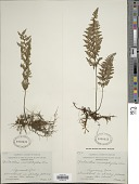 view Myriopteris microphylla (Sw.) Grusz & Windham digital asset number 1