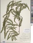 view Asplenium achilleifolium (M. Martens & Galeotti) Liebm. digital asset number 1