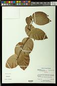view Passiflora kawensis Feuillet digital asset number 1