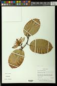 view Passiflora rufostipulata Feuillet digital asset number 1