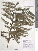 view Asplenium acuminatum Hook. & Arn. digital asset number 1