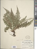 view Athyrium yokoscense (Franch. & Sav.) Christ digital asset number 1