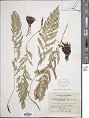 view Athyrium distentifolilum subsp. americanum (Butters) Hultén digital asset number 1