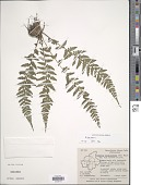 view Athyrium hohenacherianum (Kunze) T. Moore digital asset number 1