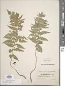 view Athyrium filix-femina subsp. cyclosorum (Rupr.) C. Chr. digital asset number 1