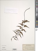 view Asplenium rhipidoneuron W. J. Rob. digital asset number 1