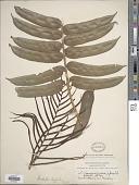 view Blechnum ryanii Hieron. digital asset number 1