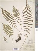 view Deparia acrostichoides (Sw.) M. Kato digital asset number 1