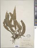 view Asplenium epiphyticum Copel. digital asset number 1