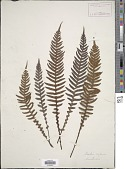 view Blechnum neohollandicum Christenh. digital asset number 1