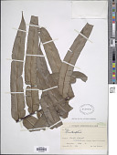 view Blechnum cordatum (Desv.) Hieron. digital asset number 1