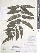 view Diplazium grandifolium Sw. digital asset number 1