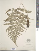 view Athyrium nigripes digital asset number 1