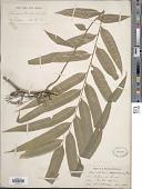 view Stenochlaena tenuifolia (Desv.) T. Moore digital asset number 1