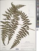 view Diplazium diplazioides (Klotzsch & H. Karst.) Alston digital asset number 1