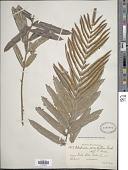 view Telmatoblechnum serrulatum (Rich.) Perrie et al. digital asset number 1