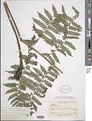 view Diplazium lilloi (Hicken) R.M. Tryon & A.F. Tryon digital asset number 1