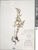 view Woodsia obtusa (Spreng.) Torr. digital asset number 1
