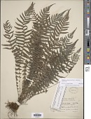 view Amauropelta scalpturoides (Fée) comb. nov., ined 2015 digital asset number 1
