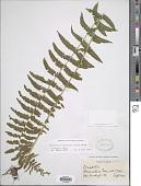 view Amauropelta mortonii (A.R. Sm.) comb. nov., ined 2015 digital asset number 1
