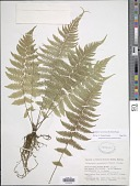 view Amauropelta navarrensis (C. Chr.) Pic. Serm. digital asset number 1