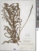 view Amauropelta balbisii (Spreng.) comb. nov., ined. 2015 digital asset number 1