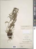 view Pneumatopteris ligulata (C. Presl) Holttum digital asset number 1