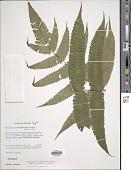 view Goniopteris fraseri (Mett.) comb. nov., ined 2015 digital asset number 1