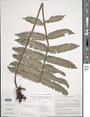 view Steiropteris leprieurii (Hook. f.) Pic. Serm. var. leprieurii digital asset number 1