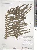 view Pneumatopteris glandulifera (Brack.) Holttum digital asset number 1
