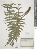 view Amauropelta rivulariformis (Rosenst.) comb. nov., ined 2015 digital asset number 1
