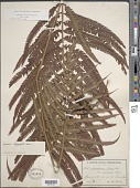 view Cyclosorus grandis (A.R. Sm.) comb. nov., ined 2015 digital asset number 1