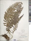 view Goniopteris retroflexa (L.) Pic. Serm. digital asset number 1