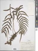 view Christella acuminata (Houtt.) H. Lév. digital asset number 1