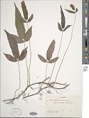 view Pronephrium triphyllum (Sw.) Holttum digital asset number 1