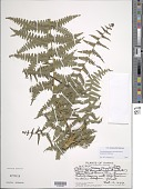view Pseudophegopteris keraudreniana (Gaudich.) Holttum digital asset number 1