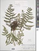 view Metathelypteris uraiensis (Rosenst.) Ching digital asset number 1