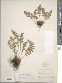 view Woodsia ilvensis (L.) R. Br. digital asset number 1